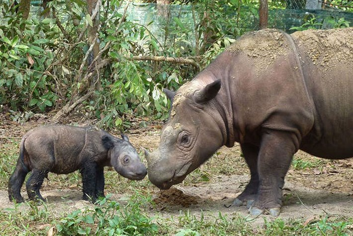 Ratu_Sumatran_rhino_2_2019-06-04.jpg