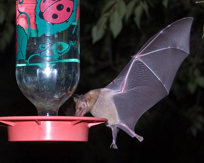 long-nosed-bat_2019-06-20.jpg