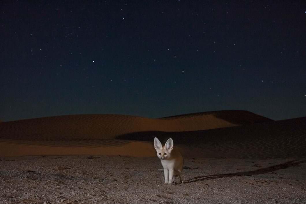 fennec-fox-at-night_2019-06-21.jpg