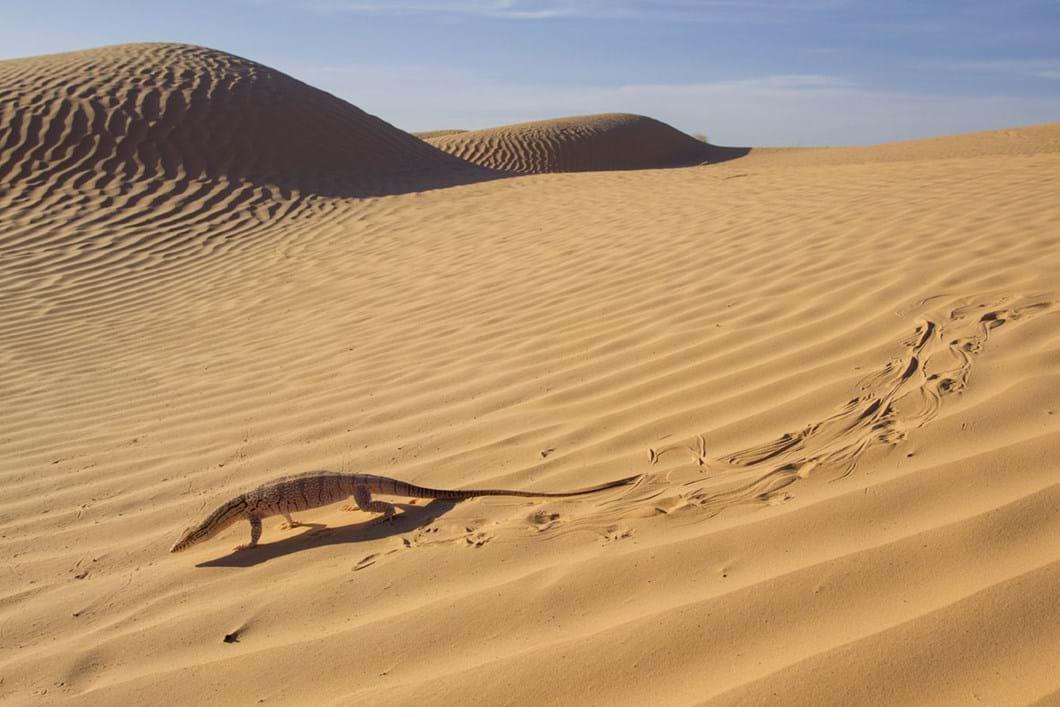 desert-monitor-Sahara_2019-06-21.jpg