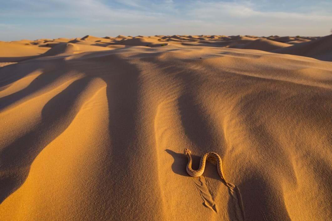 sand-viper-Sahara_2019-06-21.jpg