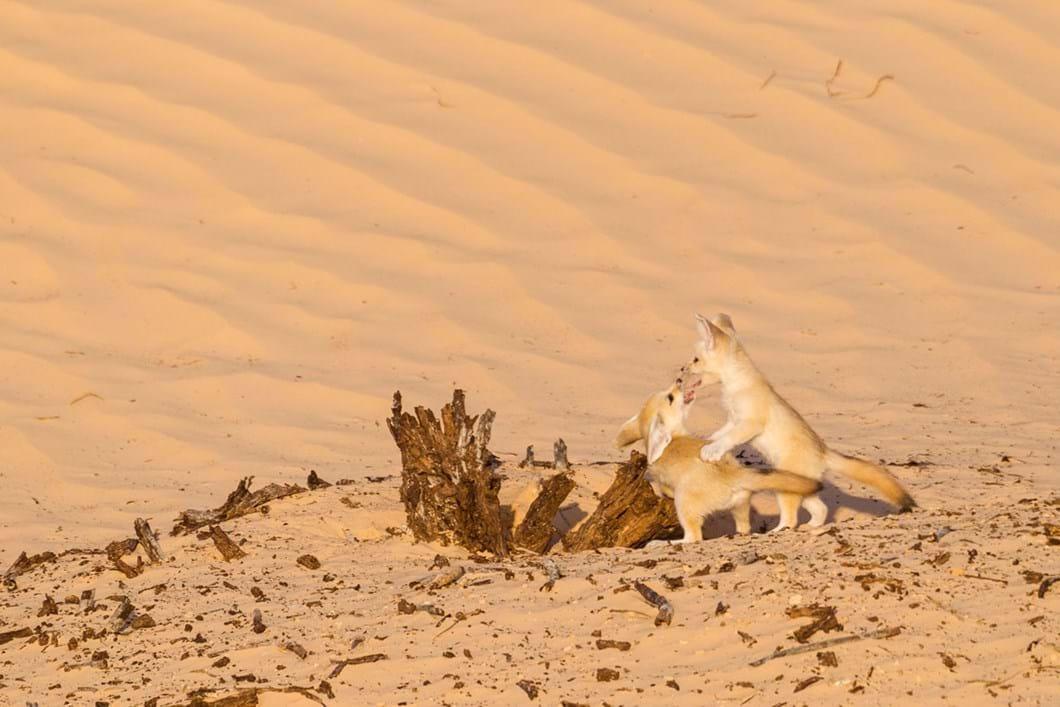 fennec-fox-pup-plays_2019-06-21.jpg
