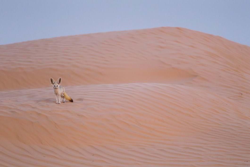 fennec-fox-Tunisian-Sahara_2019-06-21.jpg