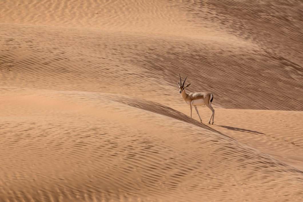 slender-horned-gazelle_2019-06-21.jpg