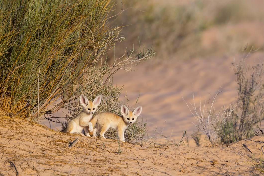 fennec-fox-cubs_2019-06-21.jpg