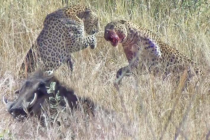 leopards-fight-warthog_2019-06-28.jpg
