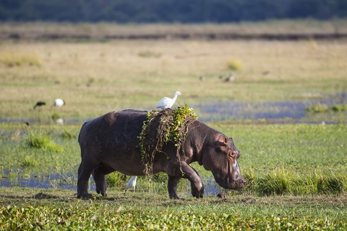 Hippo-with-egret_2019-07-08.jpg