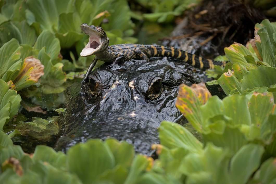 baby-alligator_2019-07-24.jpg