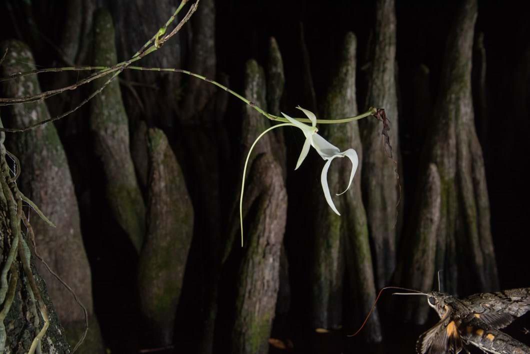 ghost-lily-moth_2_2019-07-24.jpg
