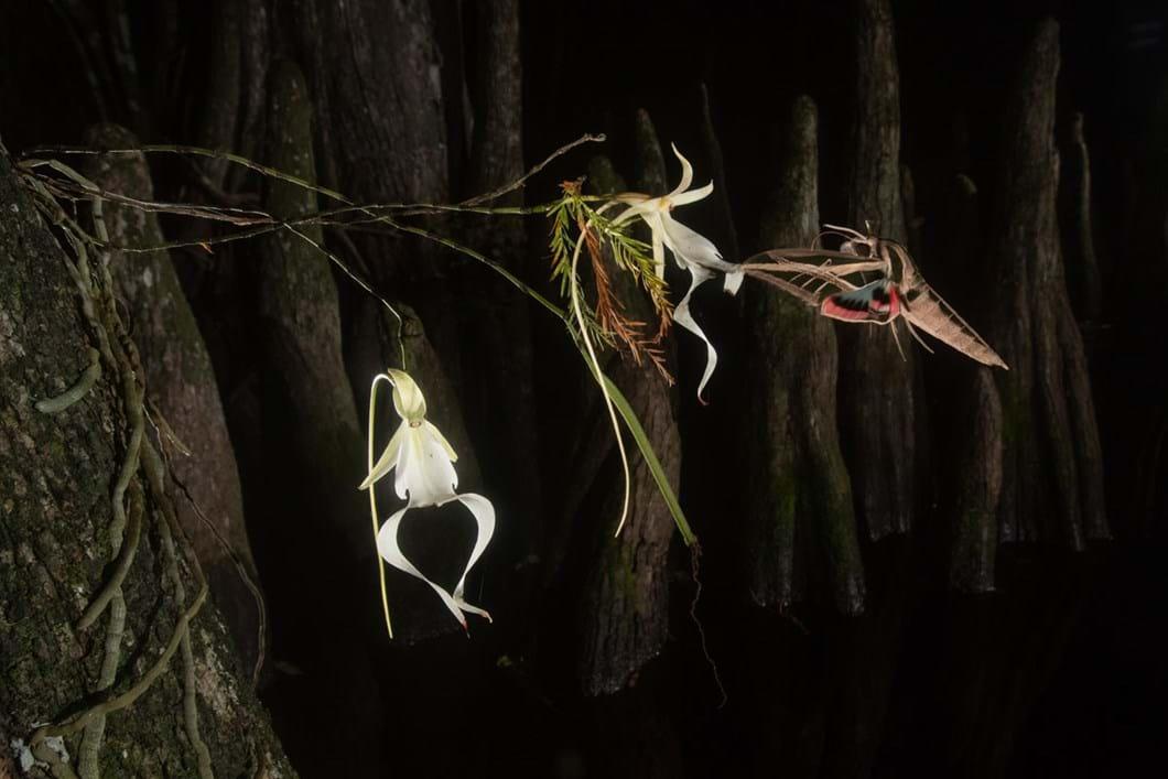 ghost-lily-moth_2019-07-24.jpg