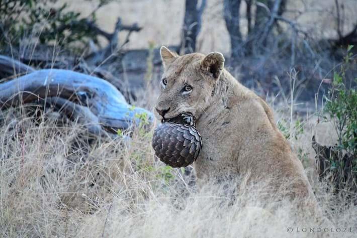 lion-pangolin-2_2019-07-22.jpg