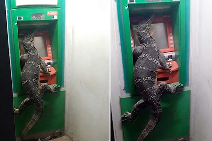 Watch: Monitor lizard pops in at a cash machine in Thailand