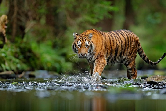 Good news: India's wild tiger numbers are on the rise