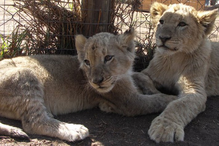 lion-cubs_page_2019-08-05.jpg