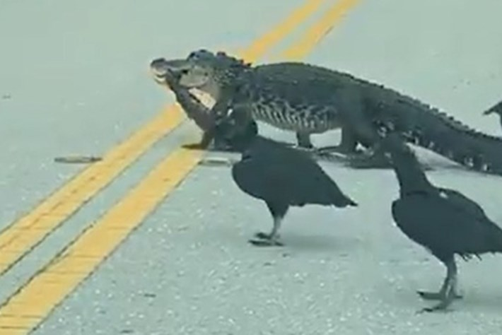 Only in Florida: Alligator drags meal across road, vultures follow close behind