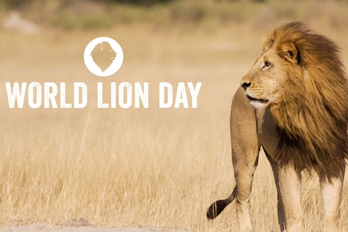 World Lion Day: A roundup of some of our favourite lion clips