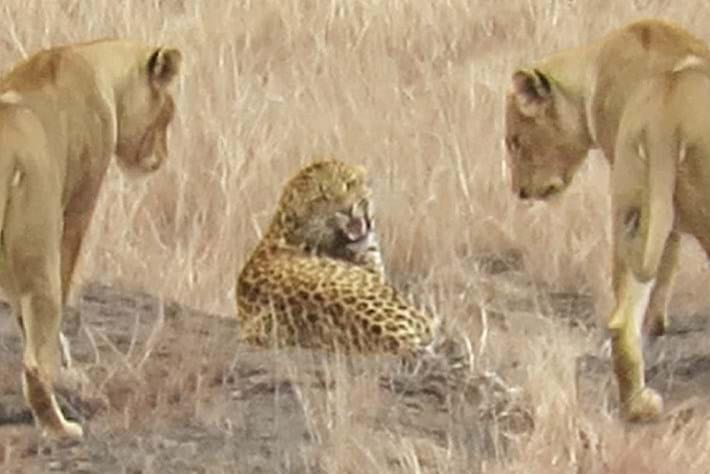 leopard-vs-lions_2019-08-16.jpg