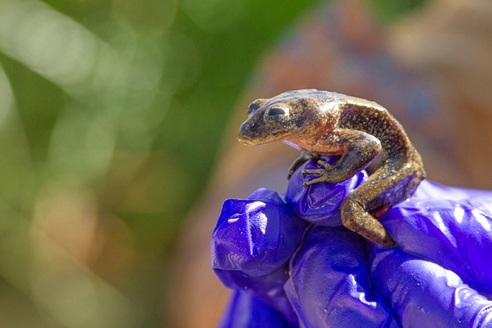 Conservationists launch last-minute rescue mission to save critically endangered water frogs in Chile