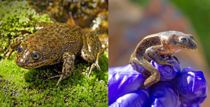Loa-water-frog-comparison_2019-08-22.jpg
