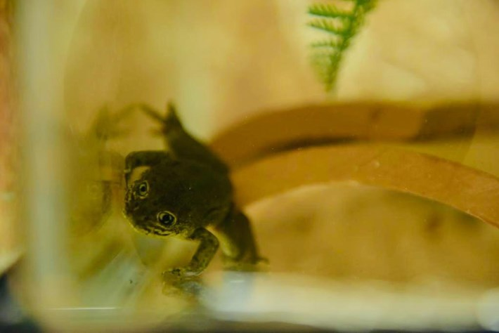 Loa-water-frog-in-tank_2019-08-22.jpg