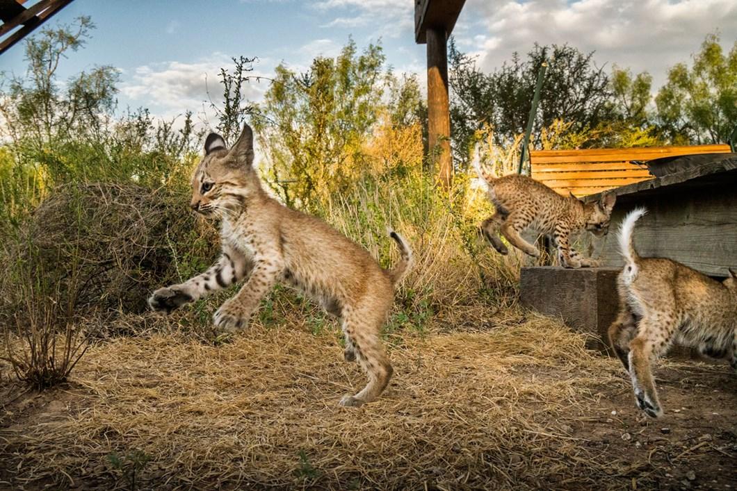 Bobcats-5_2019-08-22.jpg
