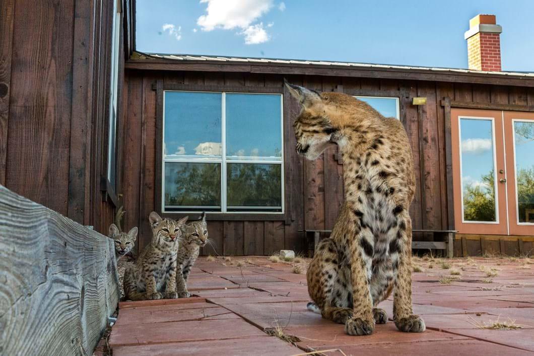 Bobcats-2_2019-08-22.jpg