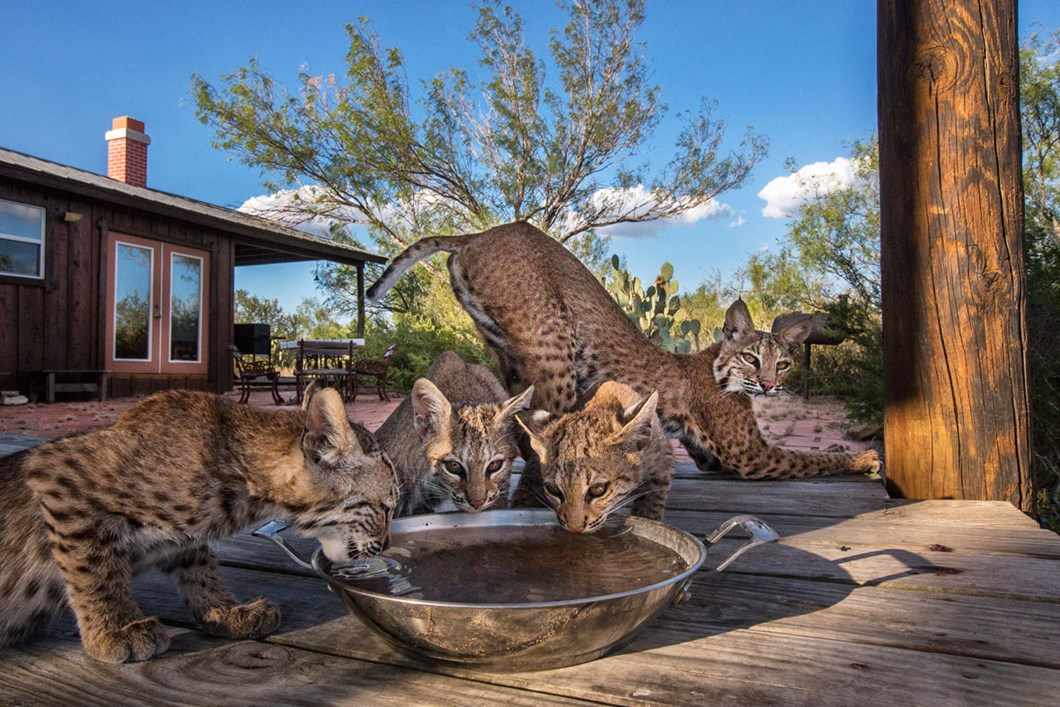 Bobcats-1_2019-08-22.jpg