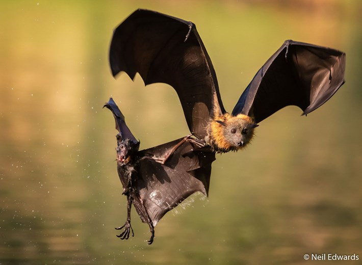 flying-fox-Neil-Edwards_2019-09-04.jpg