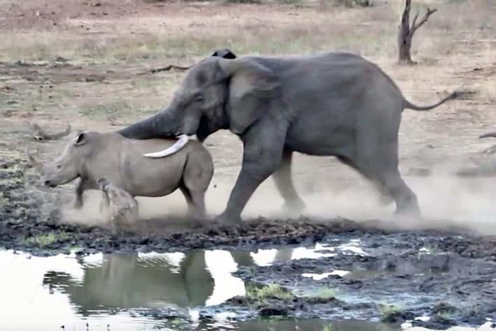 elephant-charges-rhino_2019-09-10.jpg