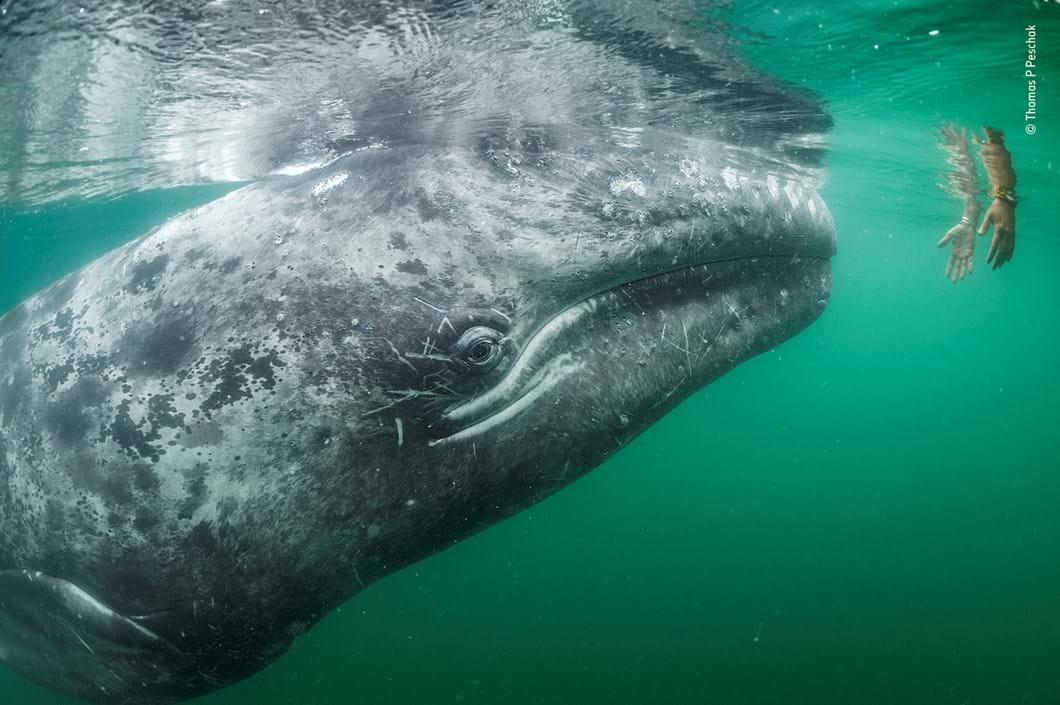 whale-hands-Thomas-Peschak-Wildlife-Photographer-of-the-Year_2019-10-13.jpg