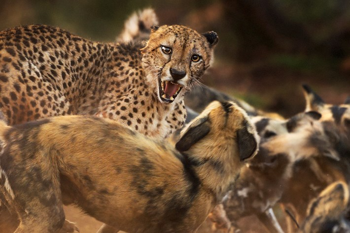 cheetah-wild-dogs-Peter-Haygarth-Wildlife-Photographer-of-the-Year_page_2019-10-13.jpg