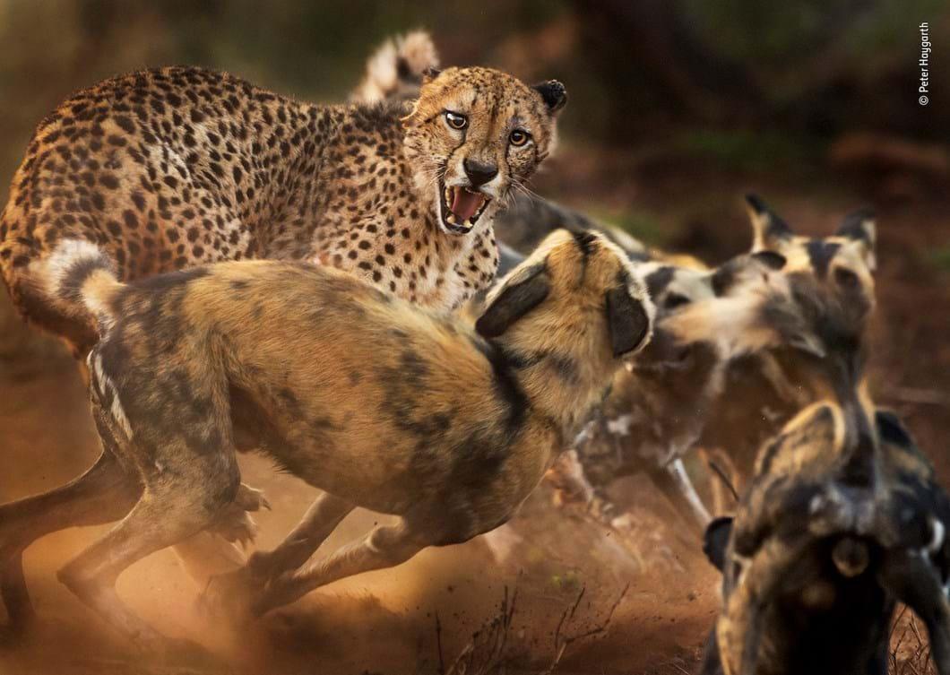 cheetah-wild-dogs-Peter-Haygarth-Wildlife-Photographer-of-the-Year_2019-10-13.jpg