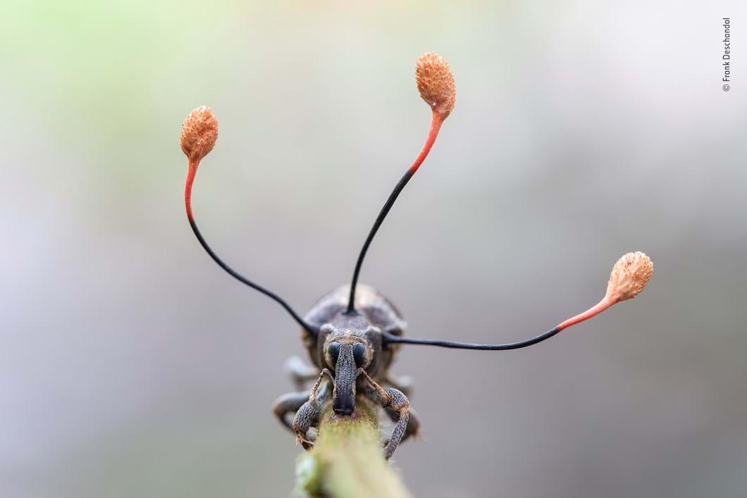 fungus-weevil-Frank-Deschandol-Wildlife-Photographer-of-the-Year_2019-10-13.jpg