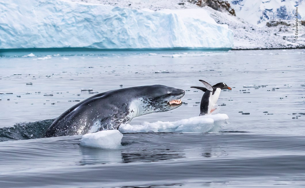 seal-penguin-Eduardo-Del-Álamo-Wildlife-Photographer-of-the-Year_2019-10-13.jpg
