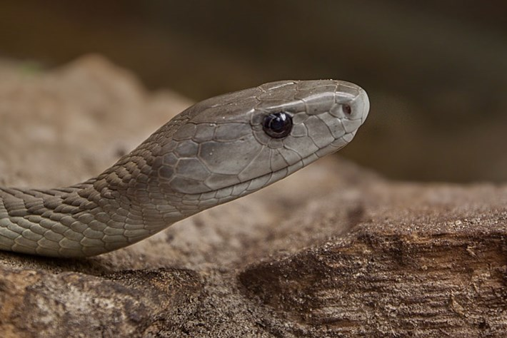 Why knowing what black mamba venom does to the human body is crucial