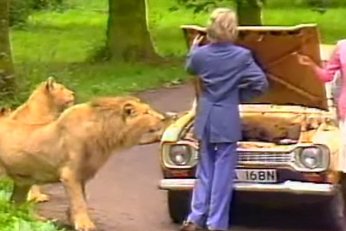 Safari park safety: 1987 video shows that lions are dangerous (especially if you're a dummy)