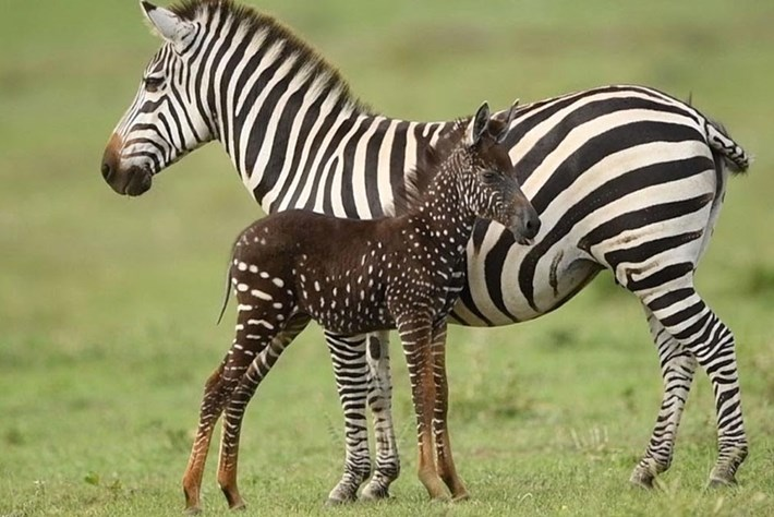 What's the deal with Kenya's rare polka-dot zebra?