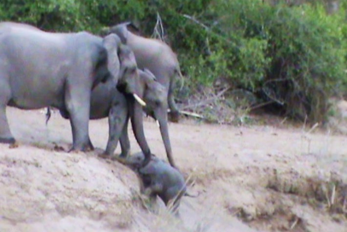 Watch: Elephant herd rallies together to help tiny calf clamber up a steep riverbank