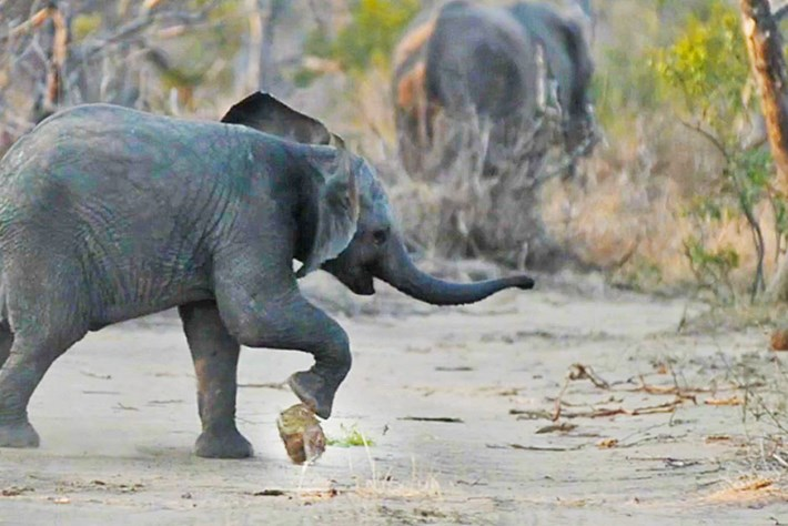 Watch: Baby elephant practising its soccer skills is the cutest thing you'll see today