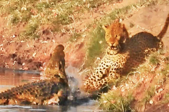 leopard-crocodile_2019-10-18.jpg