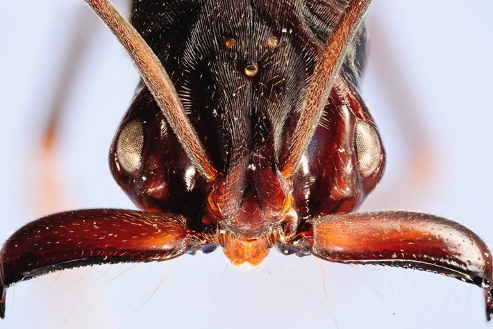 Jaw Jumpers: Micro-robots modelled on spring-loaded ant jaws