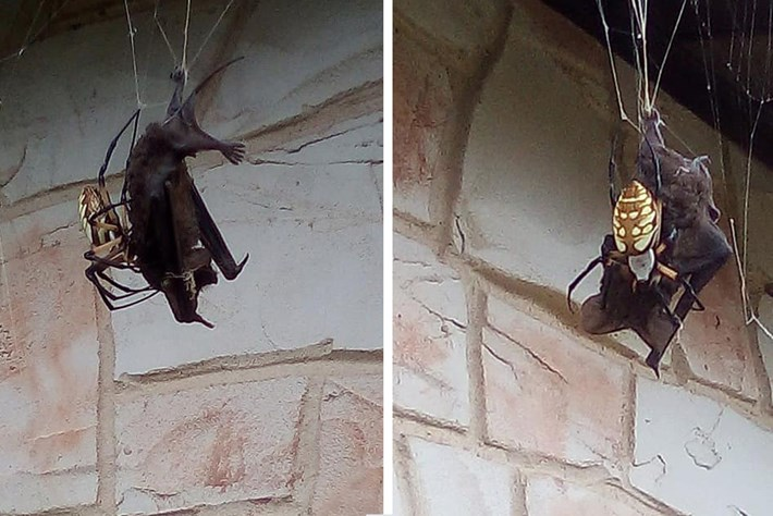 In photos: Spider eating a bat is nature's Halloween horror show