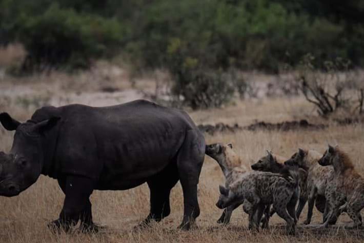 hyenas-vs-rhino_page_2019-11-12.jpg