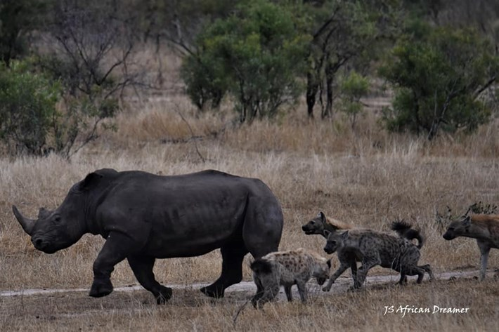 hyenas-vs-rhino_6_2019-11-12.jpg