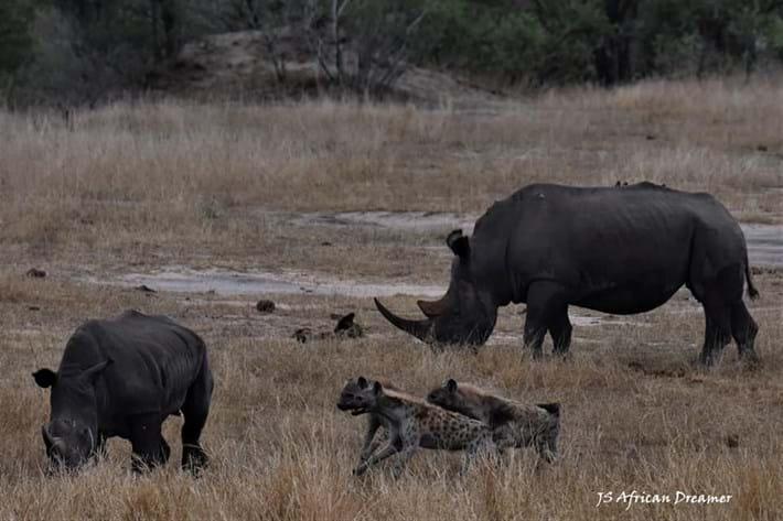 hyenas-vs-rhino_5_2019-11-12.jpg
