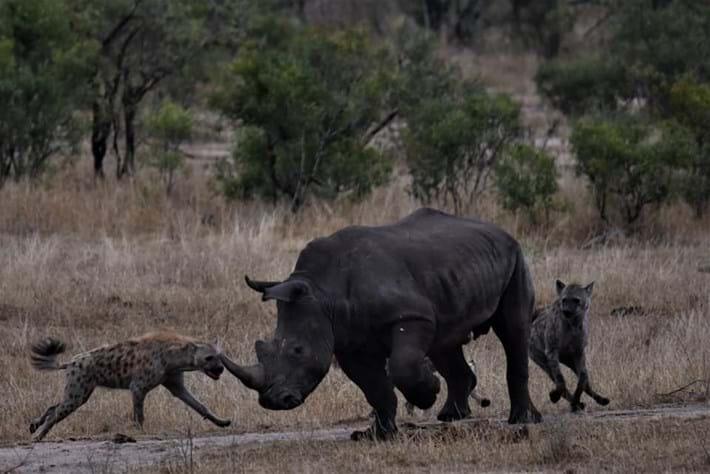 hyenas-vs-rhino_4_2019-11-12.jpg
