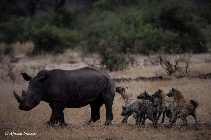 hyenas-vs-rhino_3_2019-11-12.jpg