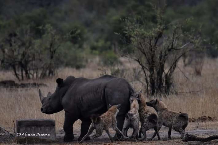 hyenas-vs-rhino_2_2019-11-12.jpg