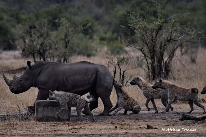 hyenas-vs-rhino_1_2019-11-12.jpg