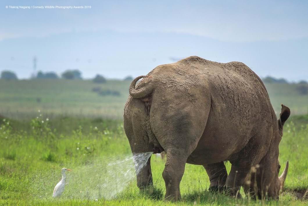 Tilakraj-Nagaraj-rhino-egret_2019-11-13.jpg